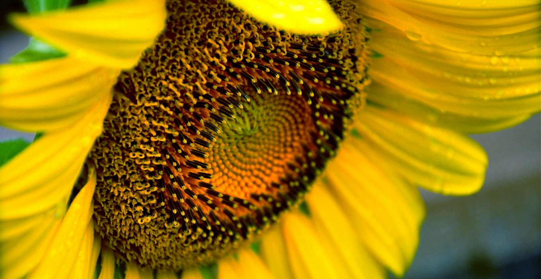 A vibrant yellow sunflower with small dew drops covering the petals.
